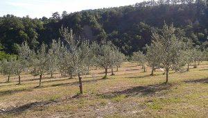 Gastrogurman - oljcno olje ronkaldo oljke 2