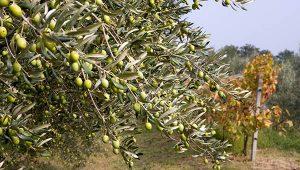 Gastrogurman - oljcno olje ronkaldo oljke