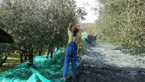 Gastrogurman - oljcno olje ronkaldo oljke 4