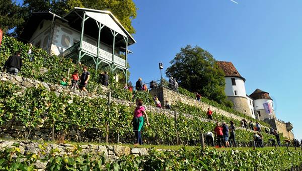8. grajska trgatev na Gradu Sevnica z odlično letino