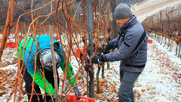V ormoški kleti so se po dolgih šestih letih ponovno veselili ledene trgatve