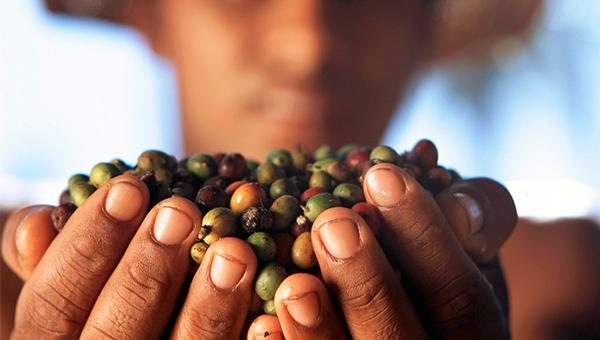 Katera zrna pa vsebuje vaša skodelica kave?