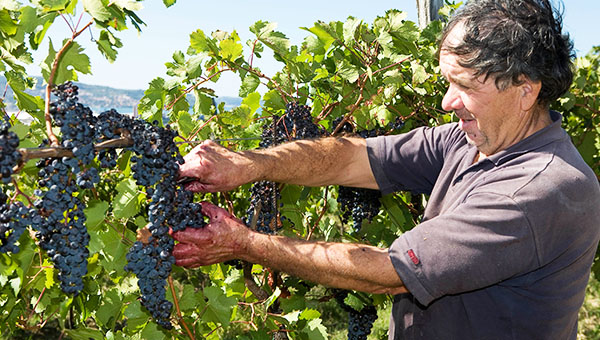 Ohranimo identiteto grozdja slovenske Istre!
